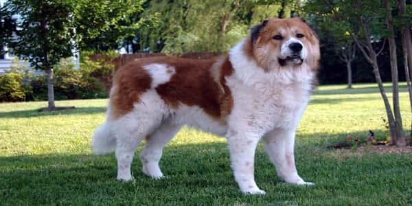 حقائق عن الكلب القوقازي