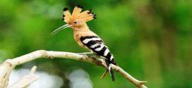 حقائق عن طائر الهدهد