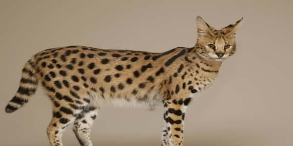تعرف على قط السافانا